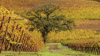 Sonoma Photograph - Kunde Vineyards by Bill Gallagher