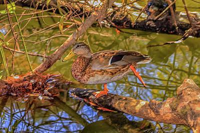 Photograph - Kung Fu Duck by Robert Hebert