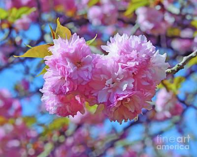 Photograph - Kwanzan Cherry Blossoms by Kerri Farley