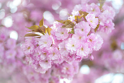 Photograph - Kwanzan Cherry Branch by Jenny Rainbow