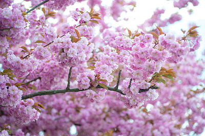 Photograph - Kwanzan Cherry In Spring Full Bloom by Jenny Rainbow