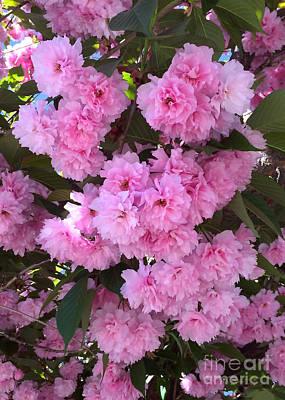 Kwanzan Cherry Tree Blossoms Art Print