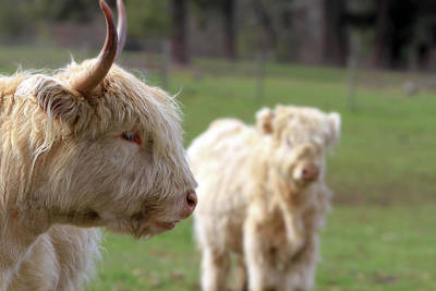 Photograph - Kyloe Highland Cattle With Calf by David Gn