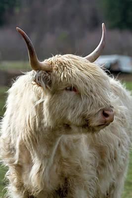 Photograph - Kyloe Highland Cow Closeup Portrait by David Gn
