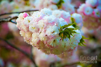 Photograph - Kyoto Cherry Blossom by Waterdancer