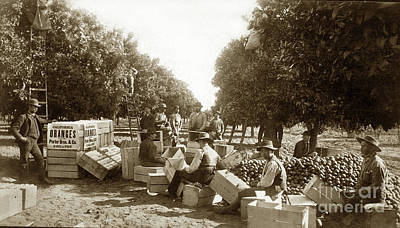 Photograph - L. K. Hathaway Packing Oranges  1884 by California Views Mr Pat Hathaway Archives