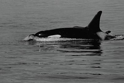 Photograph - L Pod Orca Whales Black And White by Dan Sproul