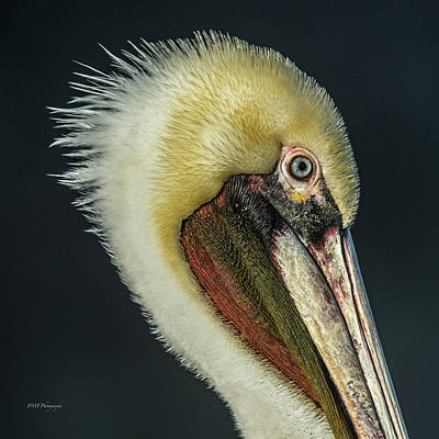 Photograph - La Jolla Brown Pelican by Paul Treseler