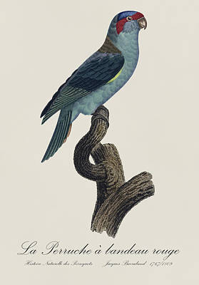 Bird Painting - La Perruche A Bandeau Rouge / Musk Lorikeet - Restored 19th Cent. Lorikeet Illustration By Barraband by Jose Elias - Sofia Pereira