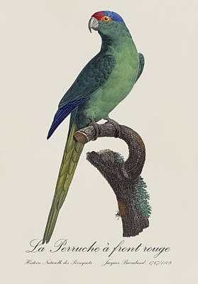 Parrot Painting - La Perruche A Front Rouge - Restored 19th Century Parakeet Illustration By Jacques Barraband by Jose Elias - Sofia Pereira