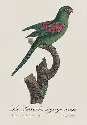 Drawing Painting - La Perruche A Gorge Rouge - Restored 19th Century Parakeet Illustration By Jacques Barraband by Jose Elias - Sofia Pereira