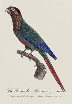 Drawing Painting - La Perruche Ara, A Gorge Variee - Restored 19th Century Parakeet Illustration By Jacques Barraband by Jose Elias - Sofia Pereira