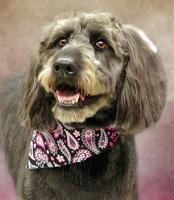 Photograph - Labra Doodle Chloe by Stephanie Calhoun