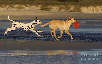 Dog At Beach Photograph - Labrador And Dalmatian by Jean-Louis Klein & Marie-Luce Hubert