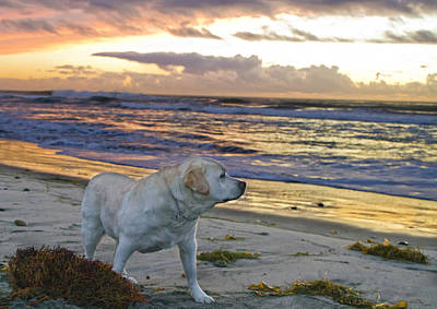 Photograph - Labrador At The Beach by Waterdancer