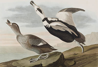 Wings Drawing - Labrador Ducks by John James Audubon