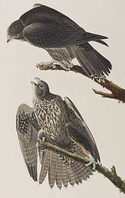 Falcon Painting - Labrador Falcon by John James Audubon