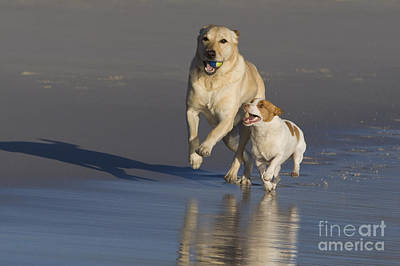 Dog At Beach Photograph - Labrador Retriever And Jack Russell by Jean-Louis Klein & Marie-Luce Hubert