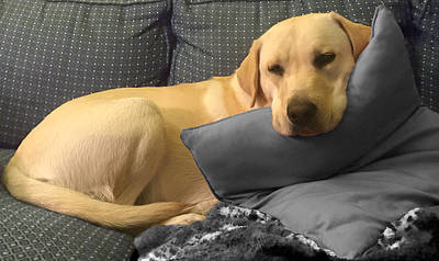 Photograph - Labrador Retriever - Me And My Pillow by Inge Lewis