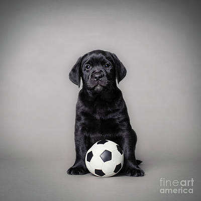 Photograph - Labrador Retriever Pupp With Ball by Waldek Dabrowski