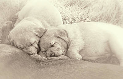 Photograph - Labrador Retriever Puppies Nursing Sepia by Jennie Marie Schell