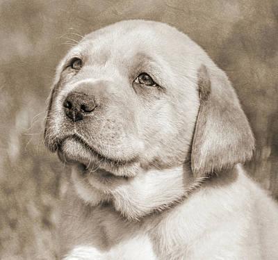 Photograph - Labrador Retriever Puppy Gaze Sepia by Jennie Marie Schell