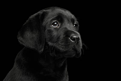 Labrador Retriever Puppy Isolated On Black Background Art Print