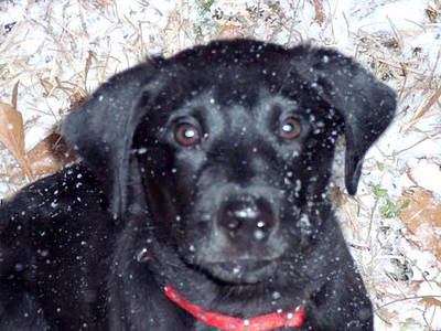 Pyrography - Labrador Retriever Puppy With Snowflakes by Inge Lewis