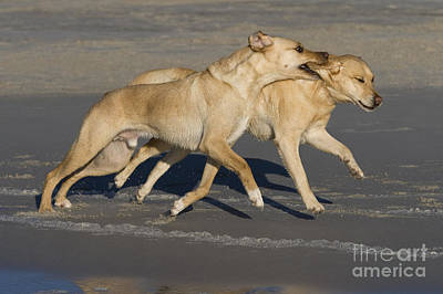 Dog At Beach Photograph - Labradors Playing by Jean-Louis Klein & Marie-Luce Hubert