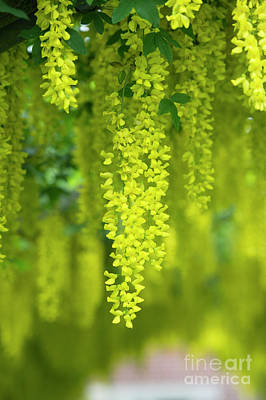 Photograph - Laburnum Archway by Tim Gainey