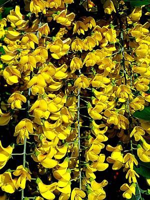 Photograph - Laburnum Flowers by Colin Drysdale