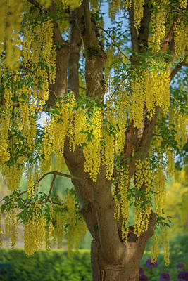 Photograph - Laburnum Tree by Jacqui Boonstra