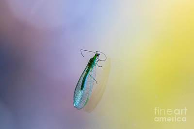 Chrysopidae Photograph - Lace Beauty by Jivko Nakev