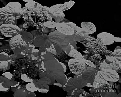 Lace Cap Hydrangea In Black And White Art Print by Smilin Eyes  Treasures