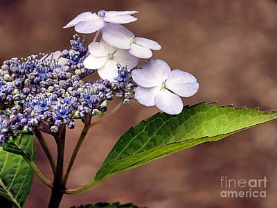 Photograph - Lace Cap Hydrangea by Janice Drew