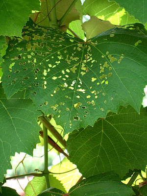 Vino Photograph - Lace In The Vines by Mindy Newman