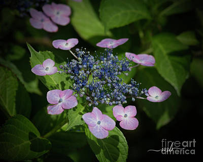 Digital Art - Lacecap Hydrangea by Mary Bellew