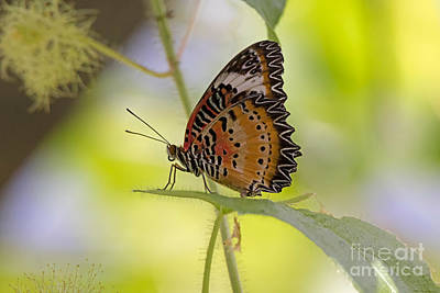 Butterfly Photograph - Lacewing Butterfly by Louise Heusinkveld