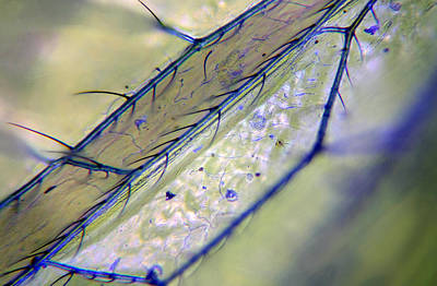 Microscopic Mixed Media - Lacewing Wing 004 by Marcus Kett