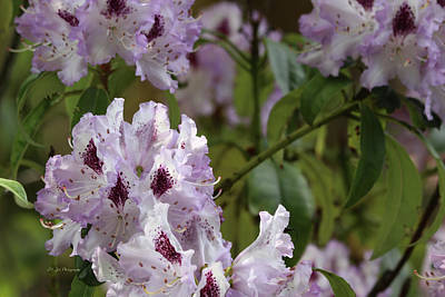 Photograph - Lacy Lavender Rhododendrons by Jeanette C Landstrom