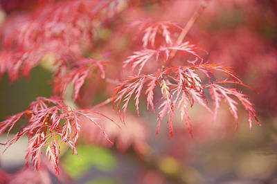 Photograph - Lacy Leaves Of Japanese Maple Tree by Jenny Rainbow
