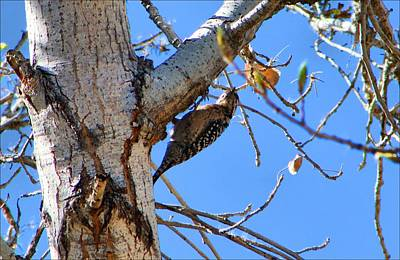Photograph - Ladder-back Woodpecker by Kathryn Meyer