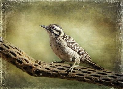 Photograph - Ladder-backed Woodpecker by Barbara Manis