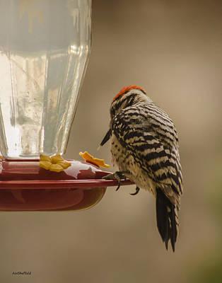 Photograph - Ladderback Woodpecker 2 by Allen Sheffield