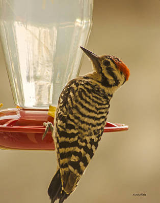 Photograph - Ladderback Woodpecker by Allen Sheffield