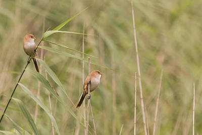 Photograph - Ladies On Watch Bearded Reedlings by Wendy Cooper
