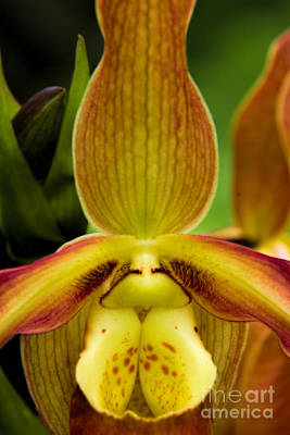 Photograph - Ladies Slipper Orchid by Barbara Bowen