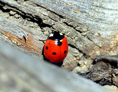 Photograph - Lady Beetle by Kimberly-Ann Talbert