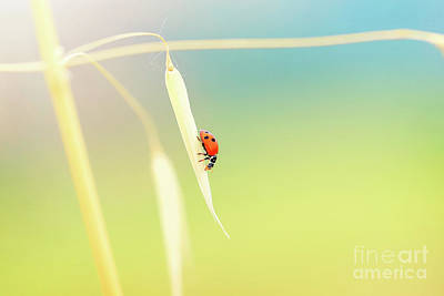 Photograph - Lady Beetle On The Wheat Stem by Anna Om
