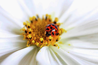 Garden Petal Image Photograph - Lady Bug And Her Cosmo by Darren Fisher